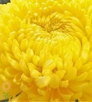 Yellow Disbud China Mum