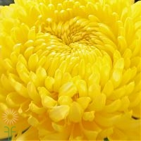 wholesale flowers | mums- china yellow