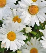 Mums, Spray-Daisy-white