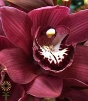 Burgundy Cymbidium Orchids, Large
