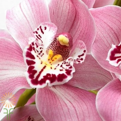 wholesale flowers | orchid- cymbidium light pink