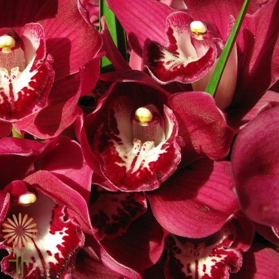 wholesale flowers | orchid- c ymbidium mini burgundy