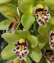 Dark Green Cymbidium Orchids, Mini