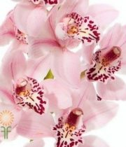 Light Pink Cymbidium Orchids, Mini