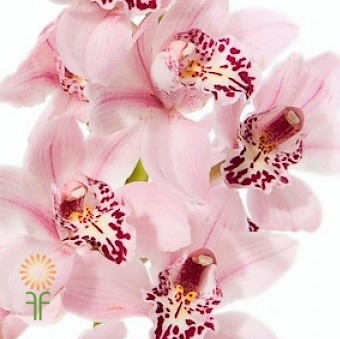 wholesale flowers | orchid- c ymbidium mini lt pink
