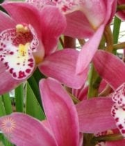 Pink Cymbidium Orchids, Mini