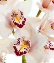 White Cymbidium Orchids, Mini