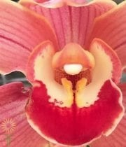 Peach Cymbidium Orchids, Large