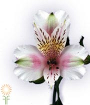 Pink And White Alstroemeria
