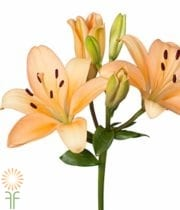 Peach Asiatic Lily