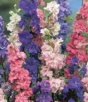 Larkspur-assorted