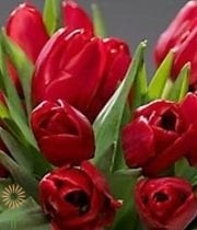 Red French Tulips