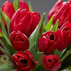 wholesale flowers   tulips French red