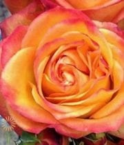 Rose, Garden S.A.-Fiction-orange