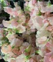 Sweet Peas-light Pink