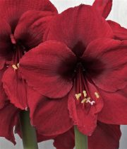 Burgundy Amaryllis (3 Stems)