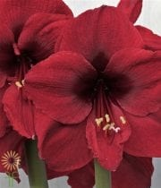 Amaryllis-burgundy (3 Stems)