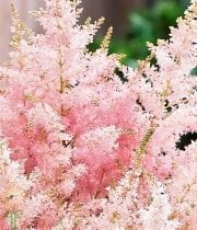 Astilbe-light Pink
