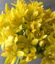 Yellow Spray Allium