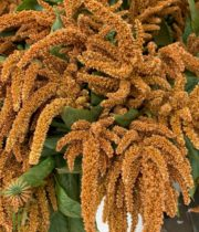 Bronze Upright Amaranthus