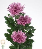 Lavender Disbud China Mums