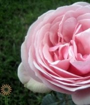 Rose, Garden S.A.-Aphrodite-light Pink