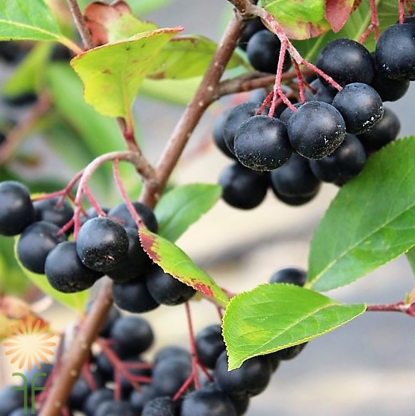 wholesale flowers | Aronia-black-chokeberry