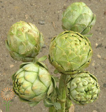 wholesale flowers | Artichoke_Baby_green