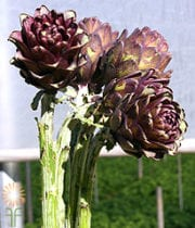 Artichoke, Baby-chocolate Stem
