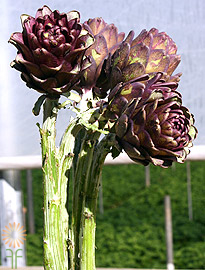 wholesale flowers | Artichokes_Baby_chocolate