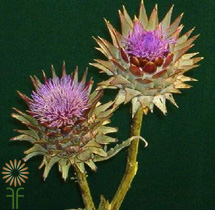 wholesale flowers | Artichokes_flowering_blue