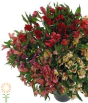 Alstroemeria-assorted
