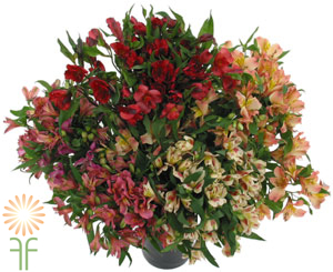 Wholesale Assorted Alstroemeria