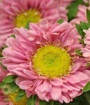 Light Pink Matsumoto Asters