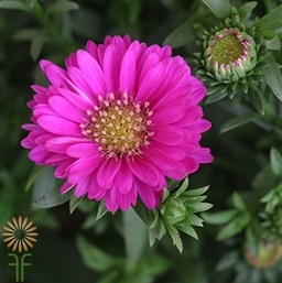 wholesale aster pink