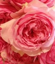 Pink Bel Canto Garden Roses