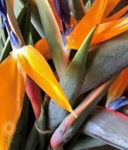 Birds Of Paradise-orange