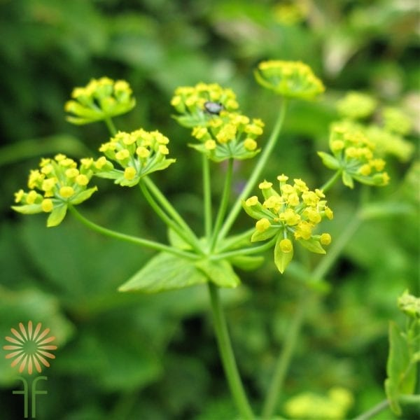 wholesale flowers | Bupleurum F
