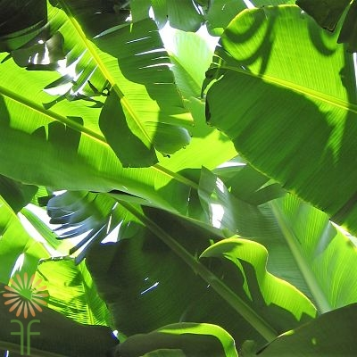 wholesale banana leaves