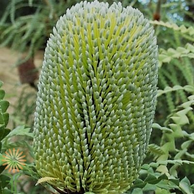 wholesale flowers | protea- banksia green