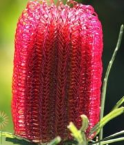 Red Banksia Protea
