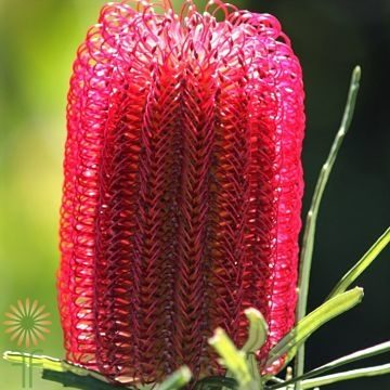 wholesale flowers | protea- banksia red