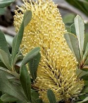 Protea, Banksia-yellow