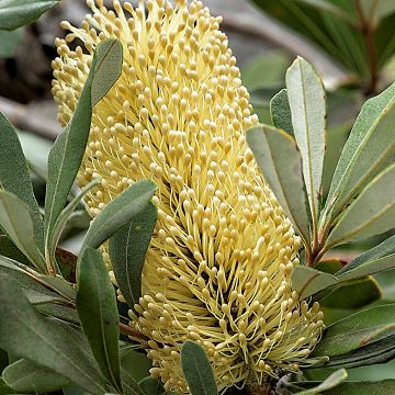 wholesale flowers | protea- banksia yellow