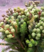 Green Berzillia Baubles, Large