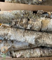 Birch Tubes, Small