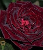 Rose, S.A.-Black Magic 50CM-dark Red