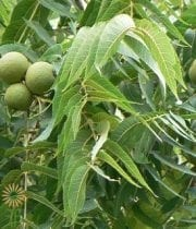 Fruited Walnut Branches-green