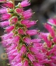 Bottlebrush-pink