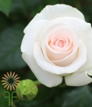 Blush Bridal Akito Roses